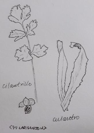 cilantro+culantro